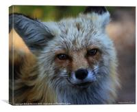 North American Red Fox, Canvas Print