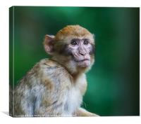 Barbary Monkeys UK, Canvas Print