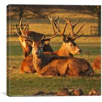 Red Stags, Canvas Print