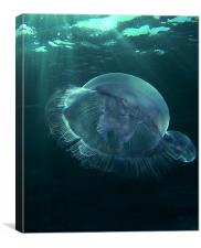 Moon Jellyfish Sharm el Sheikh., Canvas Print
