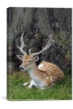 laughing fallow deer, Canvas Print