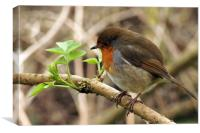 robin redbreast perched, Canvas Print