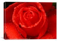 Close up Rose, Canvas Print