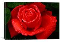 Raindrop Rose, Canvas Print