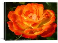 Blossomed Orange Rose, Canvas Print