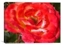 Pink and Red Rose, Canvas Print