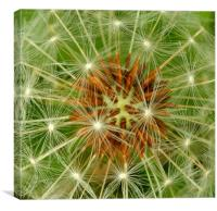 Dandelion florets, Canvas Print