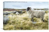 Wild Sheep On Kinder Scout, Canvas Print
