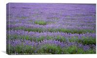 Lavender field 4, Canvas Print