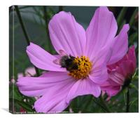 Bee on a Cosmos, Canvas Print