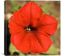 Red Petunia, Canvas Print