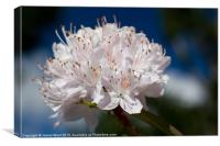 Rhododendron, Canvas Print