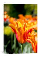 Vivid Orange Tulip, Canvas Print