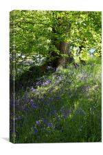 Bluebells in Wales, Canvas Print