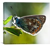Rim-Lit Silver Studded Blue Butterfly, Canvas Print