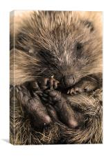 All Curled Up, Canvas Print