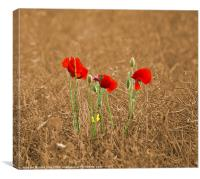 Three Little Poppies, Canvas Print