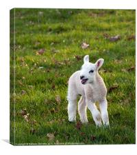 Spring Lamb, Canvas Print