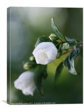 White Blossom, Canvas Print