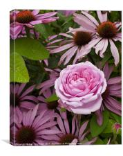 A rose amongst...echinacea, Canvas Print