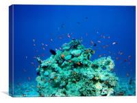 Red Sea Coral Fish, Canvas Print