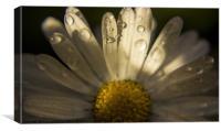 Wet Daisy, Canvas Print