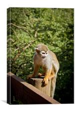 Squirrel Monkey, Canvas Print