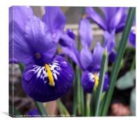 Minature irises, Canvas Print