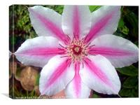 Giant clematis flower, Canvas Print