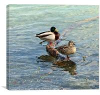 Mr & Mrs Duck