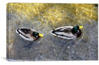 Two male ducks off out for a cruise