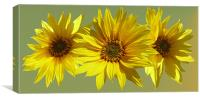 Sunflower medley, Canvas Print