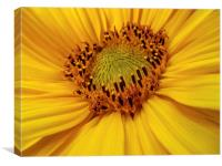 Sunflower heart, Canvas Print