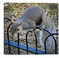 Cheeky Grey Squirrel, Canvas Print