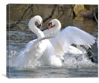 Swan Fight, Canvas Print