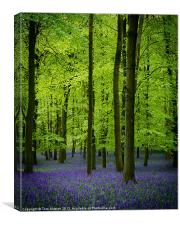 Dockey Bluebells, Canvas Print
