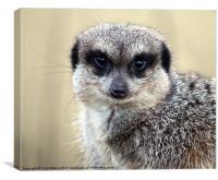 Meerkat With Soulful Eyes, Canvas Print