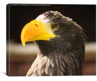 Steller's Sea Eagle (Halliaeetus pelagicus), Canvas Print