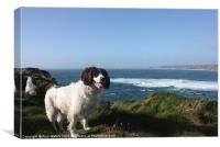 Springer Spaniel Dog in Sennen Cove, Canvas Print