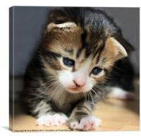 Daydreamer Kitten, Canvas Print