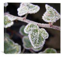 Icy ivy, Canvas Print