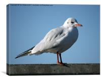 Black Headed Gull in Winter, Canvas Print