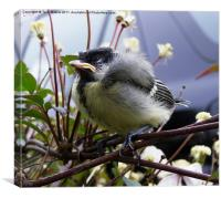 Snoozing Baby Coal Tit, Canvas Print