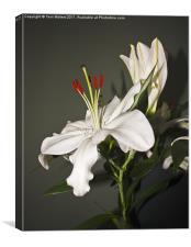 White Lily Casa Blanca, Canvas Print