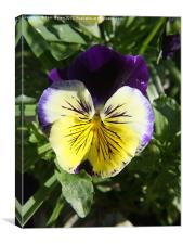 Purple and Yellow Pansy Green Background, Canvas Print