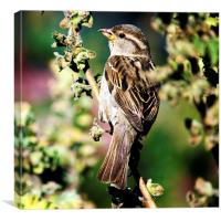 House Sparrow Passer domesticus, Canvas Print