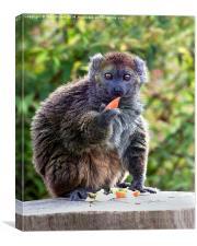 Alaotran Gentle Lemur, Canvas Print