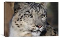 Snow Leopard Uncia Uncia, Canvas Print