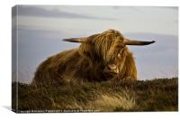 Windswept Highland Cow, Canvas Print