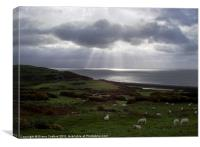 Sheep grazing on coast of Wales, Canvas Print